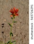 Indian Paintbrush Flower ...