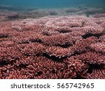 Small photo of sea floor of pemanggil island, Johor, Malaysia fully covered with acropora digitate (Acropora gemmifera)