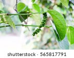 Black Pepper   Plant With Green ...