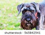 close up playful schnauzer dog... | Shutterstock . vector #565842541
