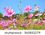 cosmos flower field beauty of...   Shutterstock . vector #565852279