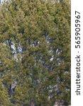 Lace Bark Pine  Pinus Bungeana ....