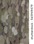 Small photo of Natural camouflage on the stem of American sycamore (Platanus occidentalis)