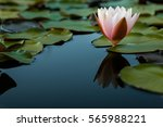 white water lily. | Shutterstock . vector #565988221