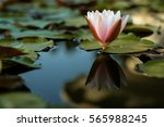 white water lily. | Shutterstock . vector #565988245