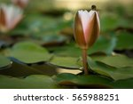 white water lily. | Shutterstock . vector #565988251