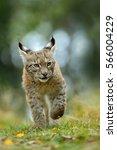 cat eurasian lynx in the green... | Shutterstock . vector #566004229