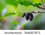 Small photo of Mulberry also known as a mulberry fruit native of Thailand ultimate source of vitamin C, a good friend's health. Trends in healthy eating.