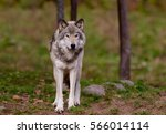 a lone timber wolf or grey wolf ... | Shutterstock . vector #566014114