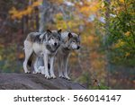 two timber wolves or grey wolf  ... | Shutterstock . vector #566014147