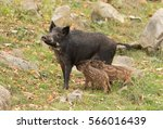 Wild Boar Feeding Two Piglets