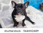 the french bulldog is sitting... | Shutterstock . vector #566042689