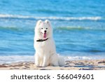 White Dog Samoyed Sitting On...