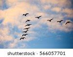 Flock Of Canada Geese  Branta...