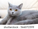 cat scottish straight breed... | Shutterstock . vector #566072599