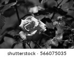 rose  black and white | Shutterstock . vector #566075035