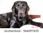 Black Labrador Retriever Lying...