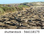 Northern Elephant Seal ...