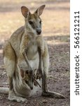 Small photo of Agile wallaby mother with baby in its pouch, Northern Territory, Australia