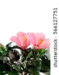pink hibiscus flower on a white ... | Shutterstock . vector #566127751