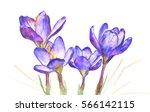 spring crocus flowers on white... | Shutterstock . vector #566142115