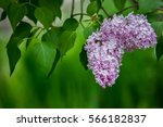 lilac bush  lilac background | Shutterstock . vector #566182837