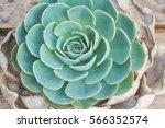 beautiful natural succulents... | Shutterstock . vector #566352574
