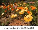 Colorful Namaqualand Daisies ...