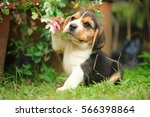 Stock photo purebred beagle puppy is learning the world in first time 566398864