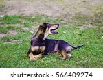 stray dog on the grass | Shutterstock . vector #566409274