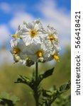 Blooming Potato Bush On A...