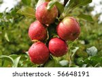 Ripe Red Apples Covered With...