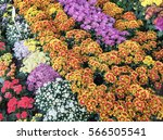 Colorful Yellow Daises Flowers...