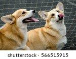 dog breed welsh corgi pembroke...   Shutterstock . vector #566515915