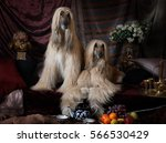 Two Afghan Hounds Dogs In The...