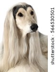 Small photo of Close-up headshot of Afghan Hound Dog looking up with grooming hairstyle isolated on white background