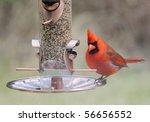 Cardinal Bird At Bird Feeder