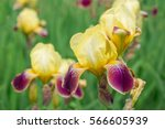 Flower Yellow Iris
