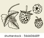 blackberry hand drawn sketch.... | Shutterstock .eps vector #566606689
