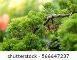 Beautiful Bonsai Tree In The...