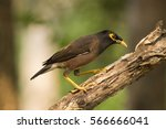 Common Myna  Indian Myna Mynah...