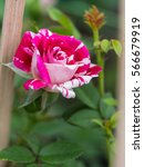 Red Stripe White Ivy Rose...