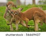two kangaroos sharing a clover...   Shutterstock . vector #56669437