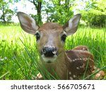 Fawn Sitting In Grass
