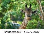 close up of giraffe head...   Shutterstock . vector #566773039