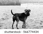close up playful schnauzer dog... | Shutterstock . vector #566774434