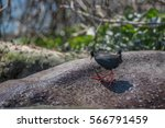 Small photo of Black crake or Amaurornis flavirostra