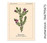 rhatany  krameria lappacea  ... | Shutterstock .eps vector #566795671