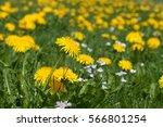 dandelion field | Shutterstock . vector #566801254
