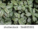 variegated bush | Shutterstock . vector #566835301